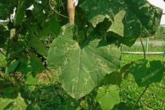 Angled люфа, листья повреждает от червя горнорабочей лист бича Стоковые Фото