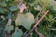 Angled люфа, cucurbits завод растет для своих незрелых плодоовощей как овощ, листьев повреждает от разрешения бича грибного Стоковые Фотографии RF