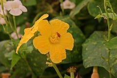 Angled цветки luffa с насекомое-вредителем жука стоковое изображение rf