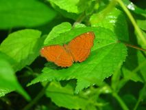 Angled Castor & x28;Ariadne ariadne& x29; butterfly Royalty Free Stock Images
