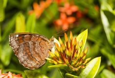 Angled castor  butterfly  & x28; Ariadne ariadne & x29; resting on flower Royalty Free Stock Photos