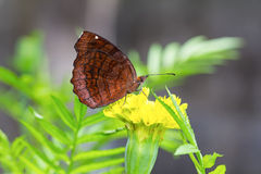 Angled Castor butterfly Stock Images