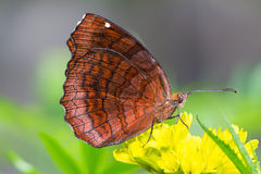 Angled Castor butterfly Royalty Free Stock Photo