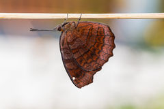 Angled Castor butterfly Royalty Free Stock Photos