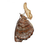 Angled Castor butterfly and cocoon Stock Photography