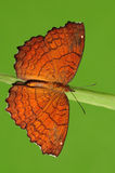 Angled Castor / butterfly on twig Royalty Free Stock Photo
