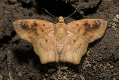 Angled Flat butterfly. During mud puddling Royalty Free Stock Photo