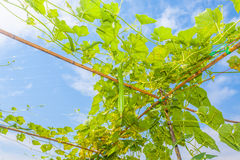 Angled gourd hanging on tree. With blue sky background Stock Photography