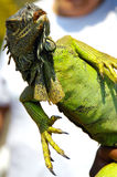 Angled Iguana. An iguana held upright by owner but leaning over Royalty Free Stock Images