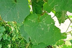 Angled loofah, leaves damage from pest leaf miner worm. Angled loofah, cucurbits plant grow for its unripe fruits as a vegetable, leaves damage from pest leaf Royalty Free Stock Photos
