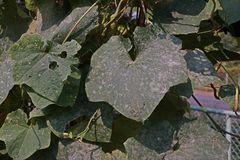 Angled loofah, cucurbits plant grow for its unripe fruits as a vegetable, leaves damage from pest leaf miner worm and fungus leave. S disease, powdery mildew Stock Photography