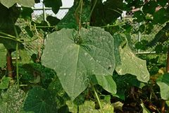Angled loofah, pest infestation, disease and insect. Angled loofah, cucurbits plant grow for its unripe fruits as a vegetable, leaves damage from pest leaf miner Royalty Free Stock Photo