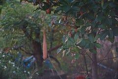 Angled loofah a cucurbits plant, seed pod. Angled loofah a cucurbits plant, ripen seed pod Royalty Free Stock Images