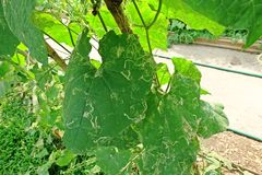 Angled loofah, leaves damage from pest leaf miner worm. Angled loofah, cucurbits plant grow for its unripe fruits as a vegetable, leaves damage from pest leaf Royalty Free Stock Image