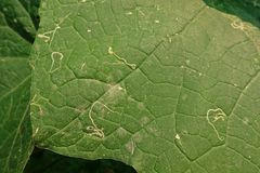Angled loofah, leaves damage from pest leaf miner worm. Angled loofah, cucurbits plant grow for its unripe fruits as a vegetable, leaves damage from pest leaf Stock Photography