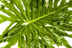 Angled  Philodendron Plant Green Leaf Details Patterns and Textu Royalty Free Stock Image