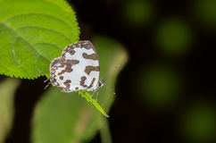 Angled pierrot butterfly Stock Photo