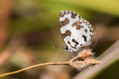 Angled Pierrot Butterfly Royalty Free Stock Image
