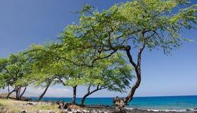 Angled row of trees at King Trail near Kaunaoa beach.  stock photos