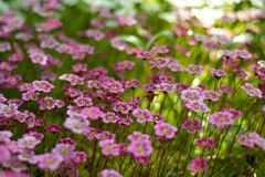 Angled view on purple primroses royalty free stock photos
