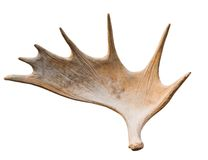 An angled view of a whitetail deer antler. Isolated on white royalty free stock photos