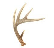 Angled Whitetail Deer Antler Stock Images