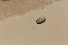 Anglefish στην άμμο Στοκ Εικόνες