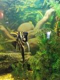Anglefish Στοκ Εικόνες
