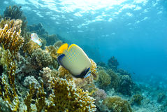 Anglefish and coral reef Stock Image