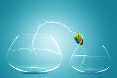 Anglefish jumping to small bowl. Angelfish jumping to small bowl, Good Concept for bad choice, bad Opportunity, Failure and Stupidity concept Stock Image