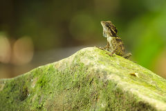 Anglehead lizard Royalty Free Stock Photo