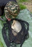 Angler with carp. Angler bending over landing net with captured big carp stock photos