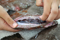 Angler fish with an open mouth and ragged teeth - close-up Stock Photo