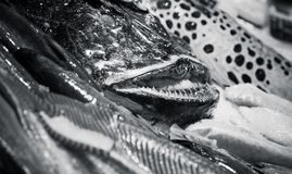 Angler fish and other seafood, monochrome. Angler fish and other seafood lay on counter in fish shop, black and white photo with selective focus Royalty Free Stock Photos