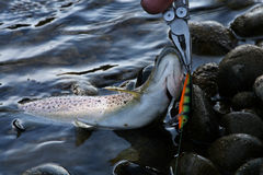 Angler Unhooking Trout Royalty Free Stock Photography