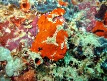 Anglerfish Stockfotos