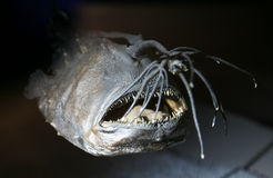 Anglerfish from Deep Sea Royalty Free Stock Image