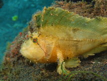 Anglerfish Royalty Free Stock Photo