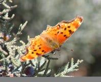 anglewing γκρίζο zephyr κομμάτων πεταλ&o Στοκ Εικόνες