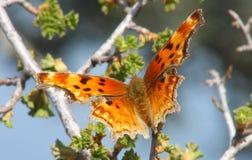 anglewing grånad zephyr för fjärilskomma Arkivfoto