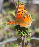 anglewing grånad zephyr för fjärilskomma Fotografering för Bildbyråer