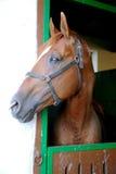 Anglo-αραβικό άλογο κούρσας που προσέχει άλλα άλογα από το σταύλο Στοκ Φωτογραφία