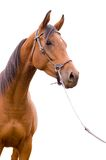 Anglo-arab horse Stock Photos