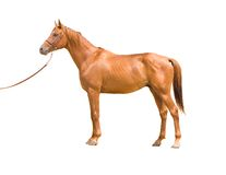 Anglo-arab horse. On white background Royalty Free Stock Image