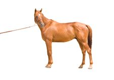 Anglo-arab horse Stock Photo