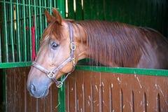 Anglo-arab kapplöpningshäst som håller ögonen på andra hästar ut ur stallet Royaltyfria Foton