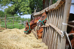 Anglo arabian purebred mares and foals eating dry hay summertime Stock Photography
