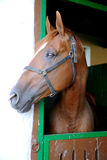 Anglo-arabian racehorse watching other horses out of the stable Stock Photography
