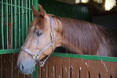Anglo-arabian racehorse watching other horses out of the stable Royalty Free Stock Photos