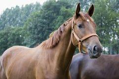 Anglo-Arabisch paard stock afbeeldingen